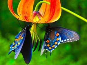 Two_Butterflies5